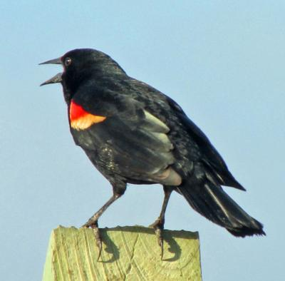 Black Bird With Red Under Wings 2