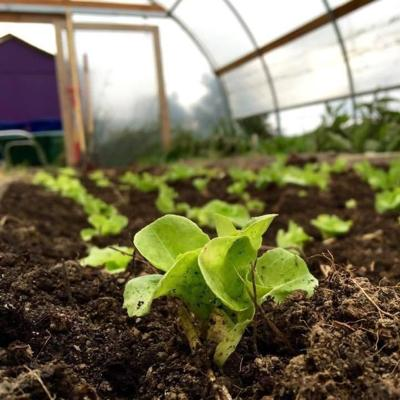 ASD1 hoop house - close up of seedling in h