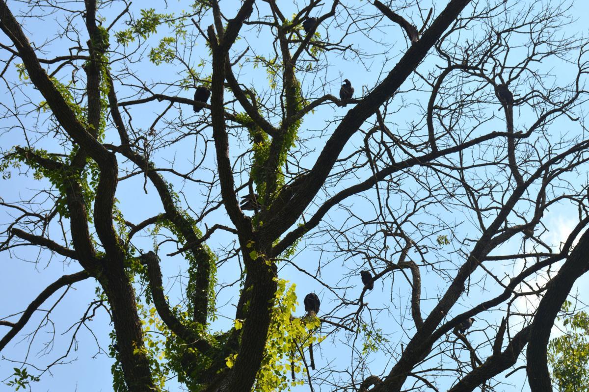 BHC 06262020 Abingdon Vultures 01