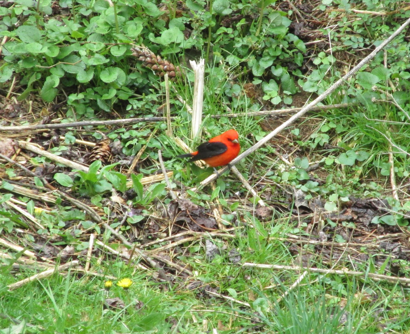 Image of: Male Sweet Surprise The Male Scarlet Tanager Stands Out From Other Birds Bristol Herald Courier Sweet Surprise The Male Scarlet Tanager Stands Out From Other