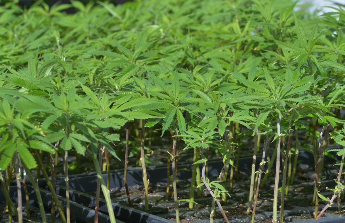 Sullivan County farm plants first hemp crop | Local News