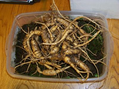 Ginseng hunting season is here, but there are rules you must