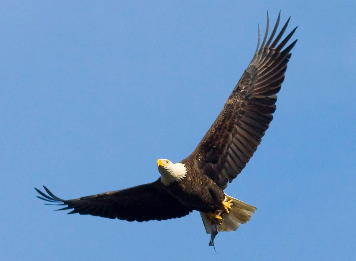 Majesty of bald eagle suitable for americas official bird soaring bald eagle biocorpaavc