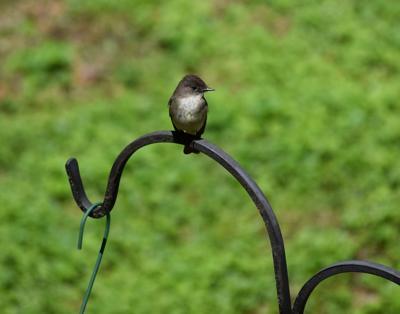 bird column eastern-phoebe-2293643_1920