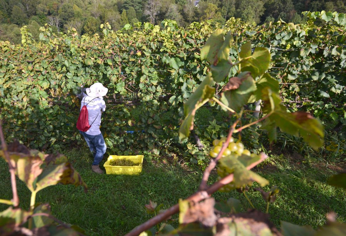 Picking the ripe fruit is first step in wine-making process ...