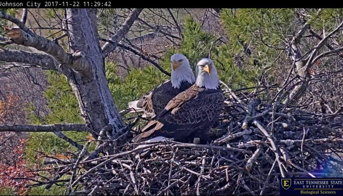 Area eagle pair nesting once again | Features | heraldcourier.com
