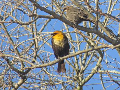 Yellow Headed Blackbird S Earance Creates A Stir