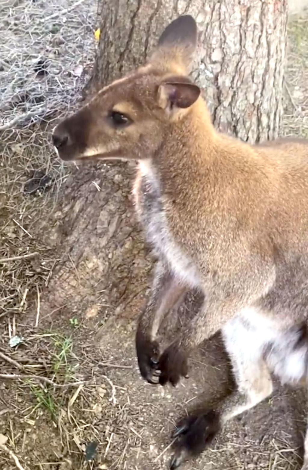 Missing Wallaby Returns Home After Search In Piney Flats Area Local News Heraldcourier Com