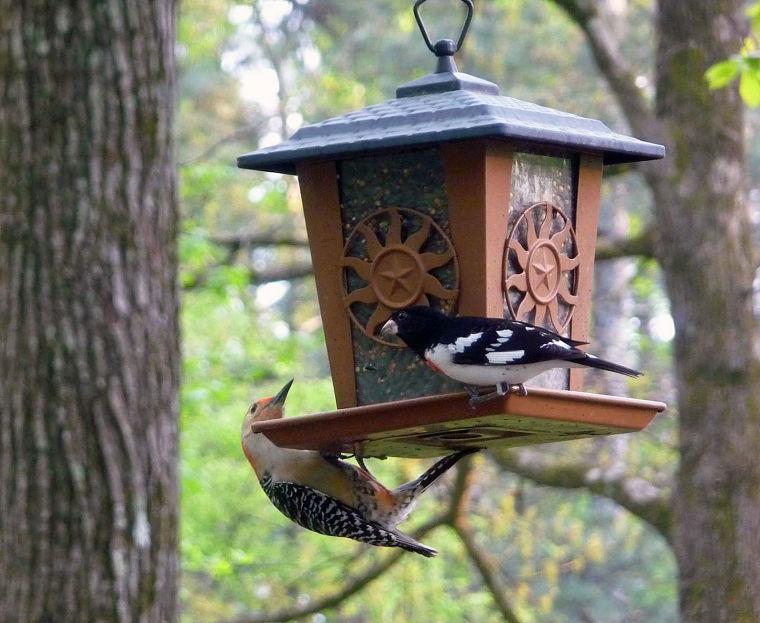 Pájaro de brezo en el movimiento a través de Smokies