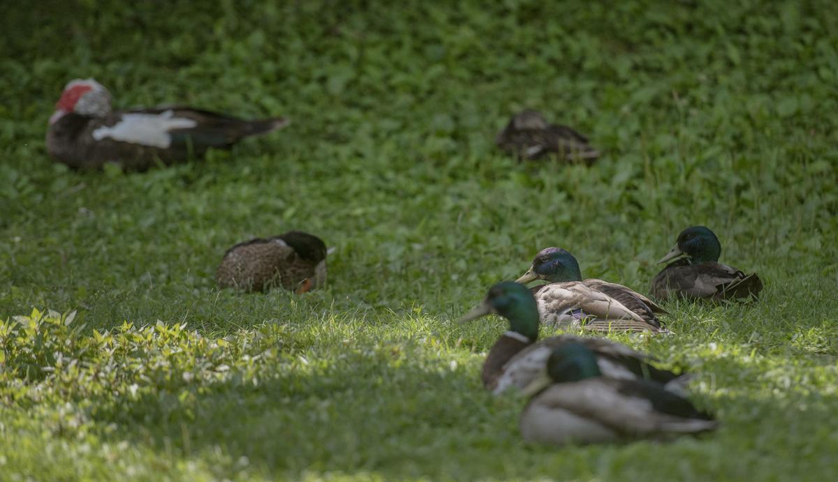 BVA Ducks 02