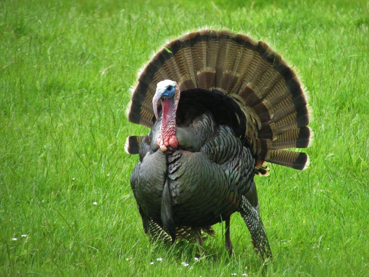 turkey bird