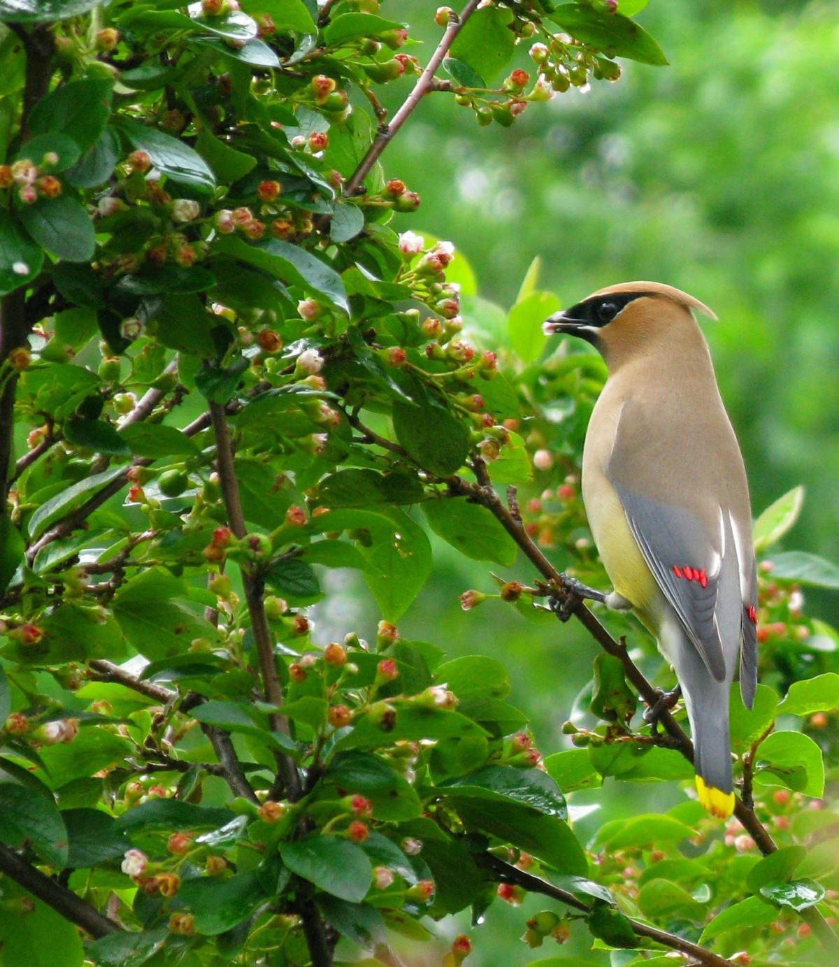 bird column cedar-waxwing-552147_1920