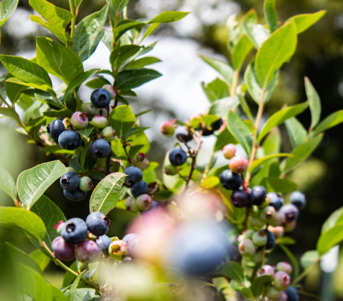 Yolanda Jones: Blueberry farmer and market organizer