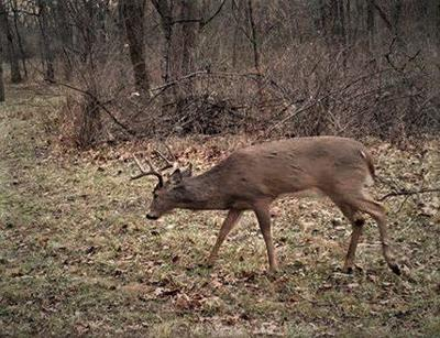 The rut: Deer grow single-minded, goofy for the once-yearly breeding cycle