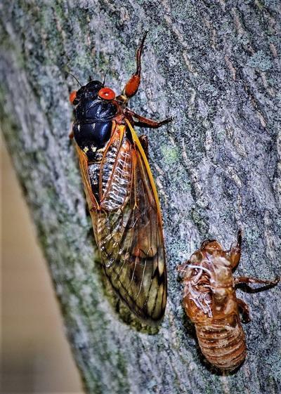 Periodical cicada, shell