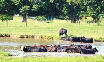 Fredonia cattle