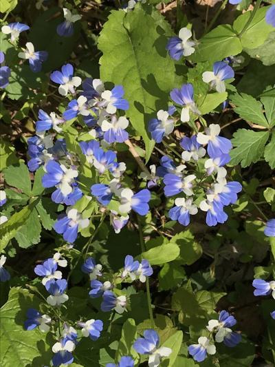 050221 jhughes blue flowers