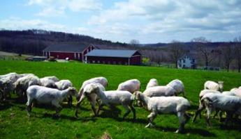 Somerset County farm family raises sheep for meat, wool