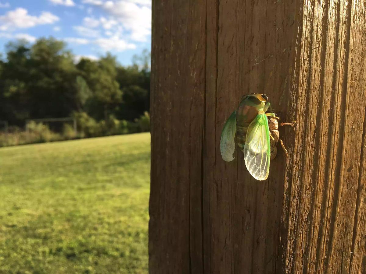 Cicada emergence not far off