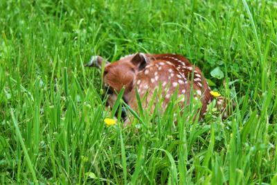 Deer puppy