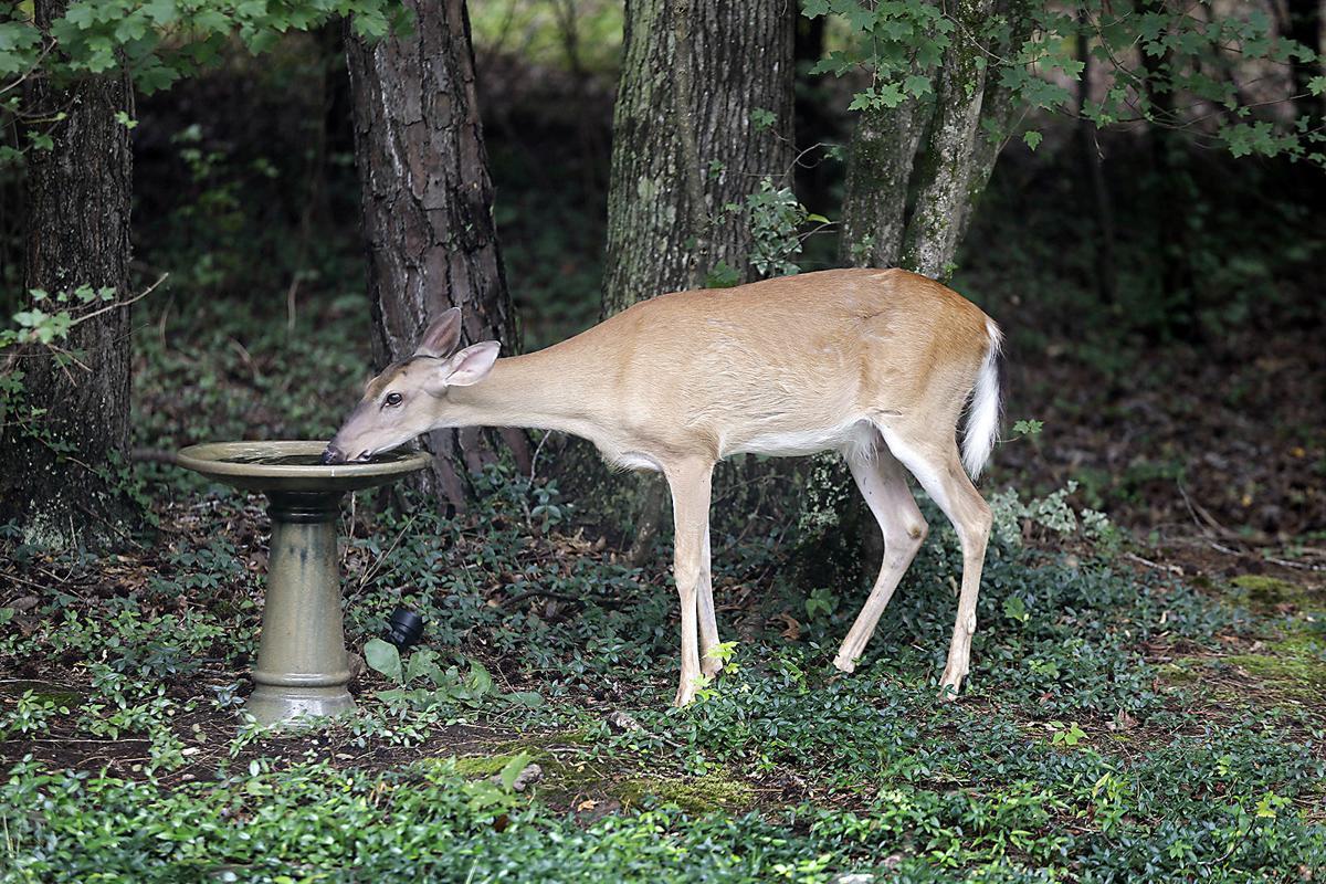 Deer taking a drink