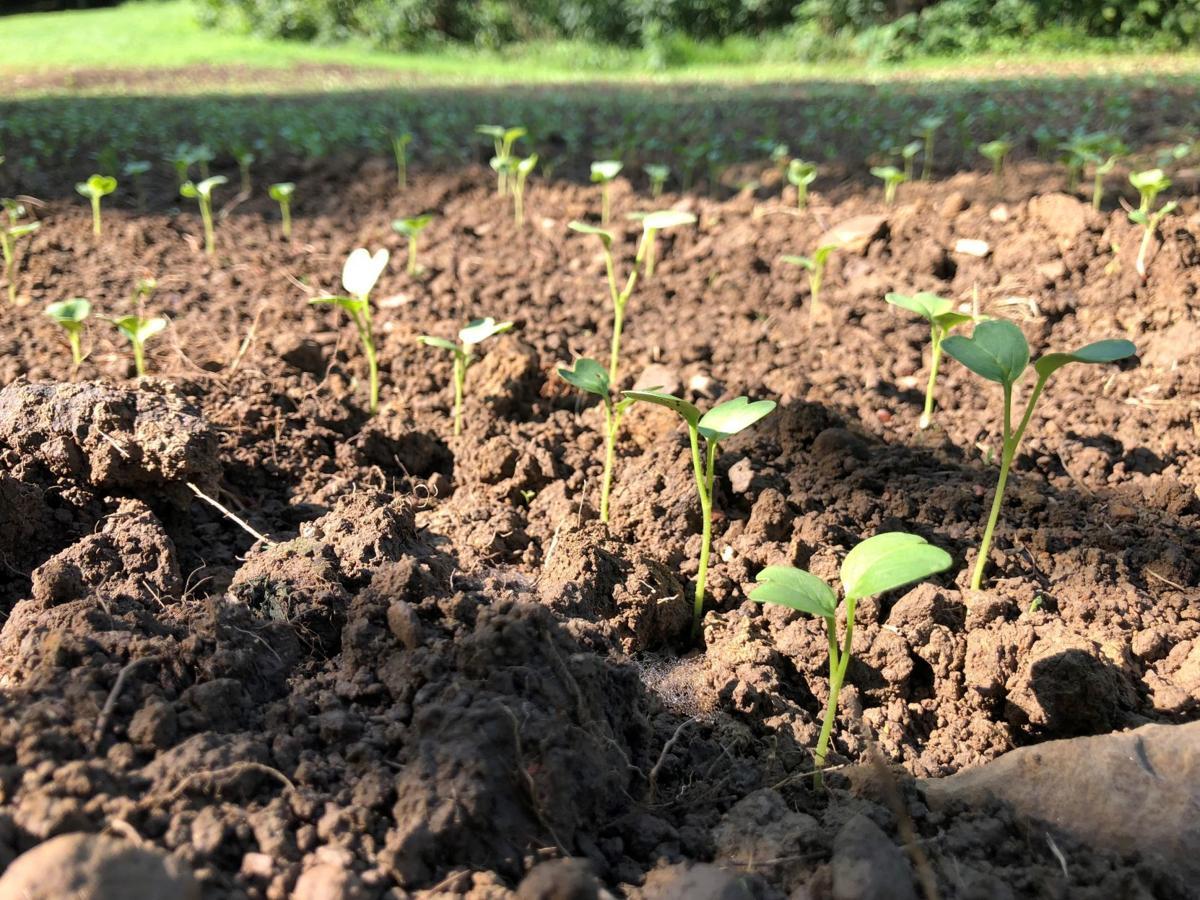 Strategy, overseeding keys to successful food plots | Local News ...