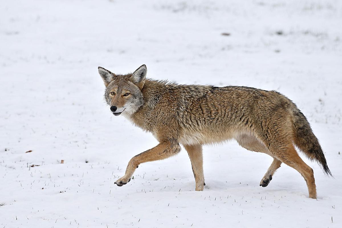 coyote 2.jpg