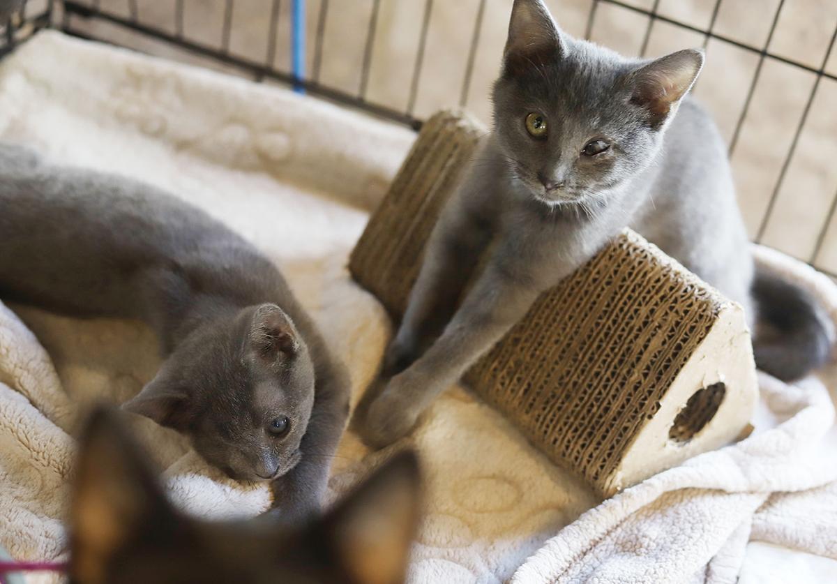 Litter of warriors: Vet, shelter partner to save kittens