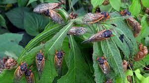 Cicadas not expected in Missouri