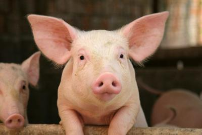 Pork association responds to crisis