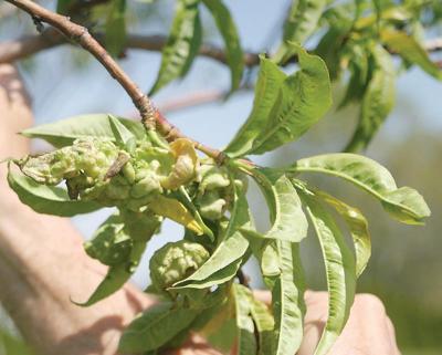 Fungus strikes area peach orchards