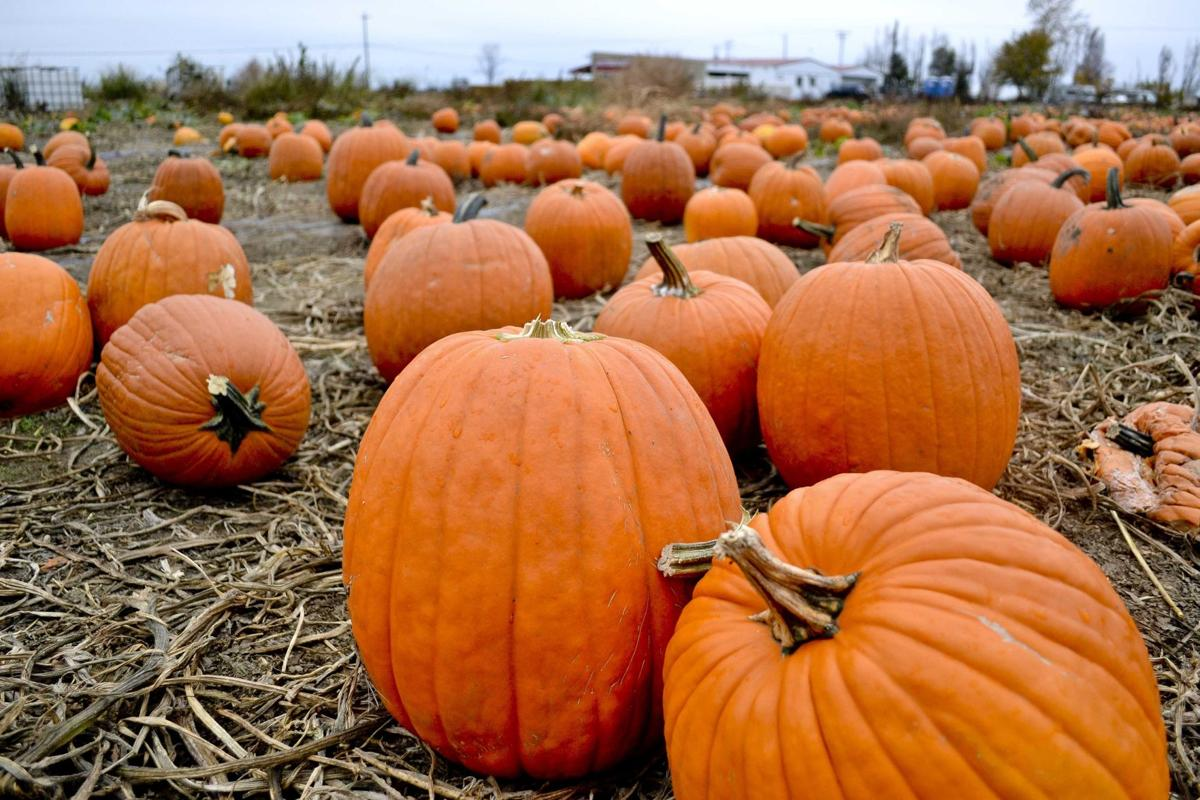 Bellinger Farms important part of Halloween pumpkin tradition in Hermiston