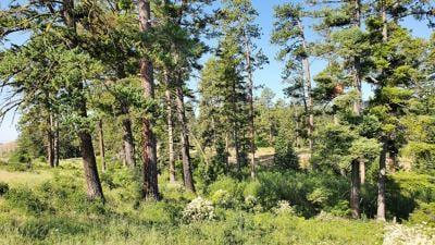 Ponderosa pines and Douglas fir
