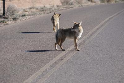 US-NEWS-COYOTES-CATS-SS-7-DMT