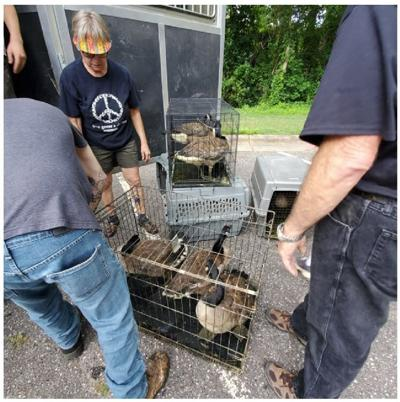 Birds are loaded into cages at Martin Luther King Jr. Park in Statesville after what was the fourth reported case of animal cruelty at the park according to Carolina Waterfoul Rescue.
