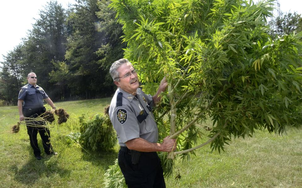 Christmas tree sized marijuana plants seized in Hickory ...