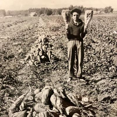 Harvesting Sugar Beets    Up