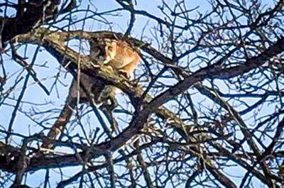Mountain lion killed 1 mile from Hillsboro