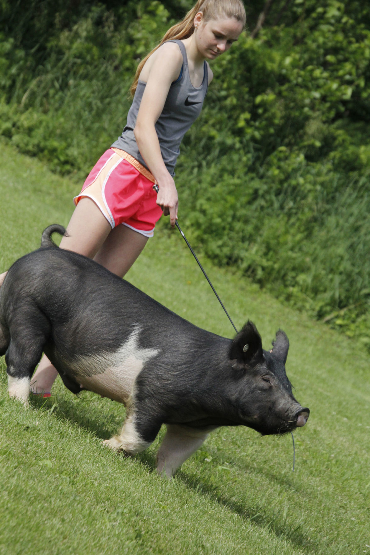 Grieser pigs 1.jpg