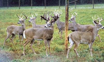 Wilderness bucks