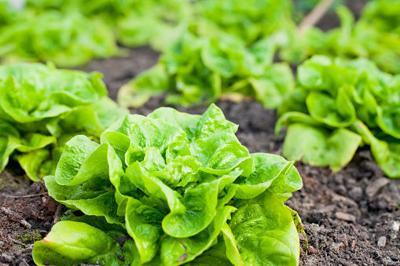 Lettuce Dream garden slated for Vandenburg Heights Park
