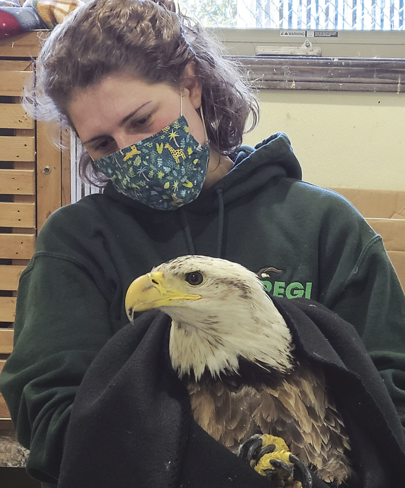 Watertown eagle being cared for by raptor group