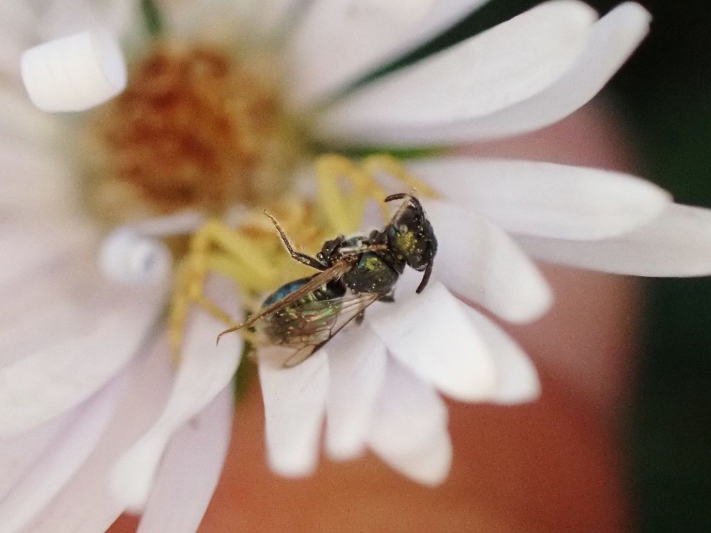 Carpenter bee and a crab spider