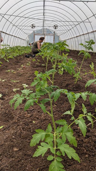 Vitruvian plants tomatoes