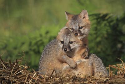 Gray fox pups