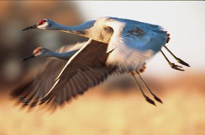 Republicans enlist Nugent in push for sandhill crane hunt