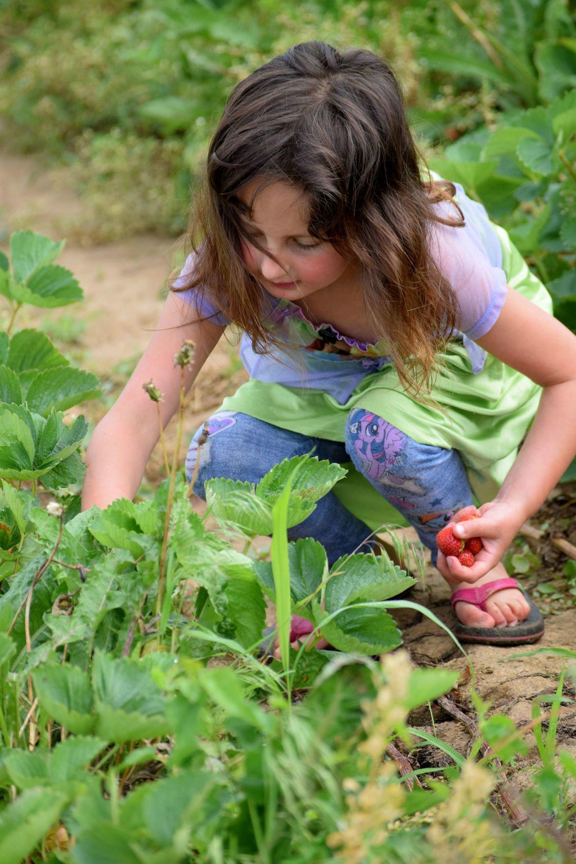 Strawberry Picking 3.jpg