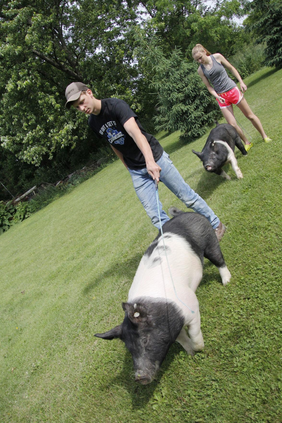 grieser pigs 3.jpg
