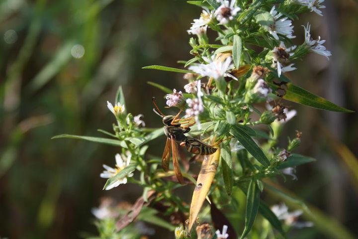 Paper wasp at Bakke Conservancy