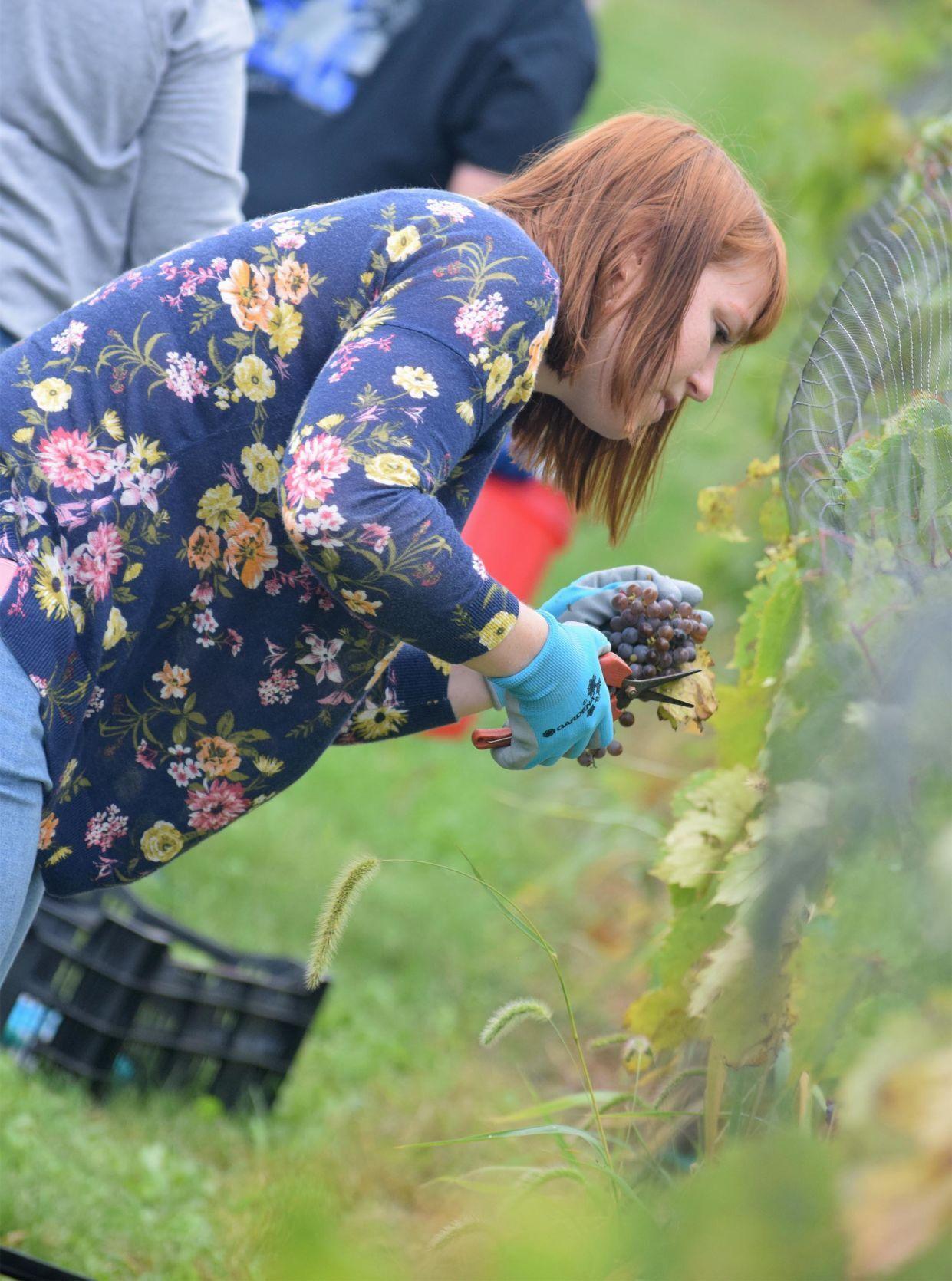 Grape picking 2.jpg